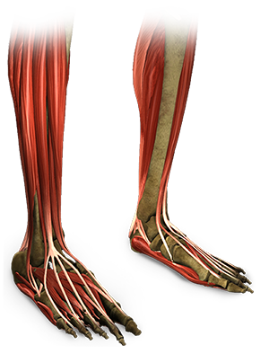 onderzijde-been.png